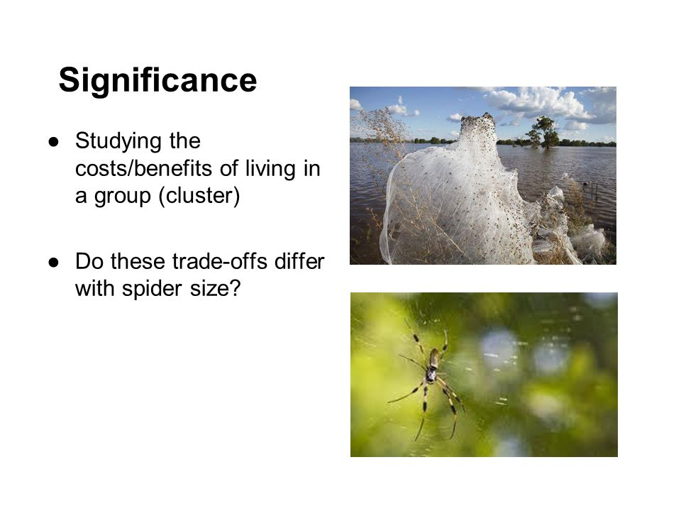 Significance ●Studying the costs/benefits of living in a group (cluster) ●Do these trade-offs differ with spider size?