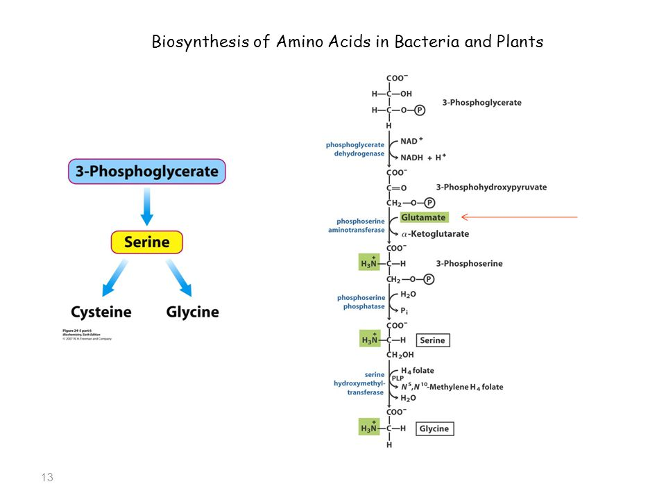 13 Biosynthesis of Amino Acids in Bacteria and Plants