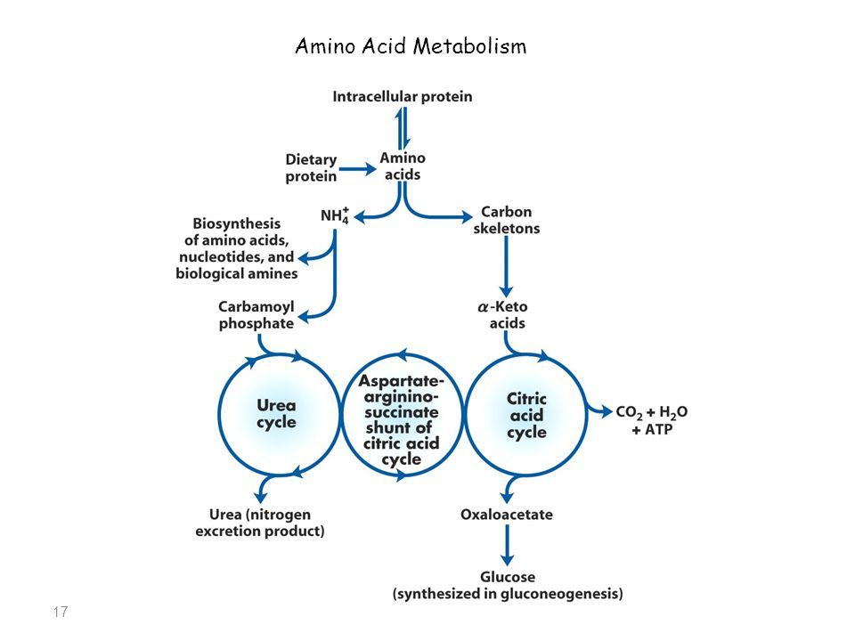 17 Amino Acid Metabolism