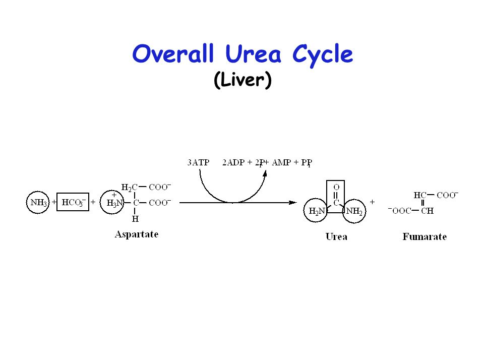 Overall Urea Cycle (Liver)