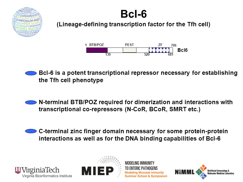 Bcl-6 (Lineage-defining transcription factor for the Tfh cell) Bcl6 BTB/POZ ZF 1 706 130 520681 PEST Bcl-6 is a potent transcriptional repressor neces