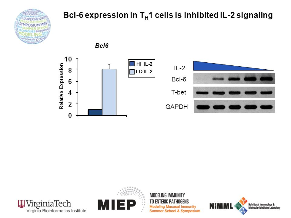 GAPDH Bcl-6 IL-2 T-bet Bcl6 HI IL-2 LO IL-2 Relative Expression Bcl-6 expression in T H 1 cells is inhibited IL-2 signaling