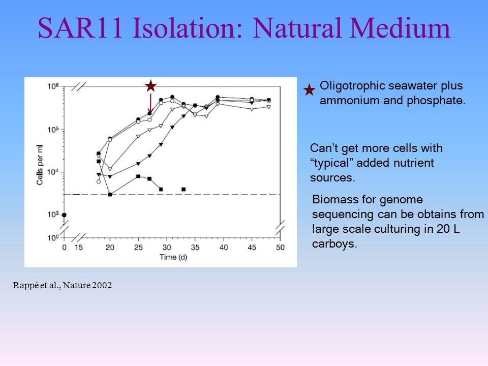 SAR11 Isolation: Natural Medium Rappé et al., Nature 2002 Can't get more cells with typical added nutrient sources.