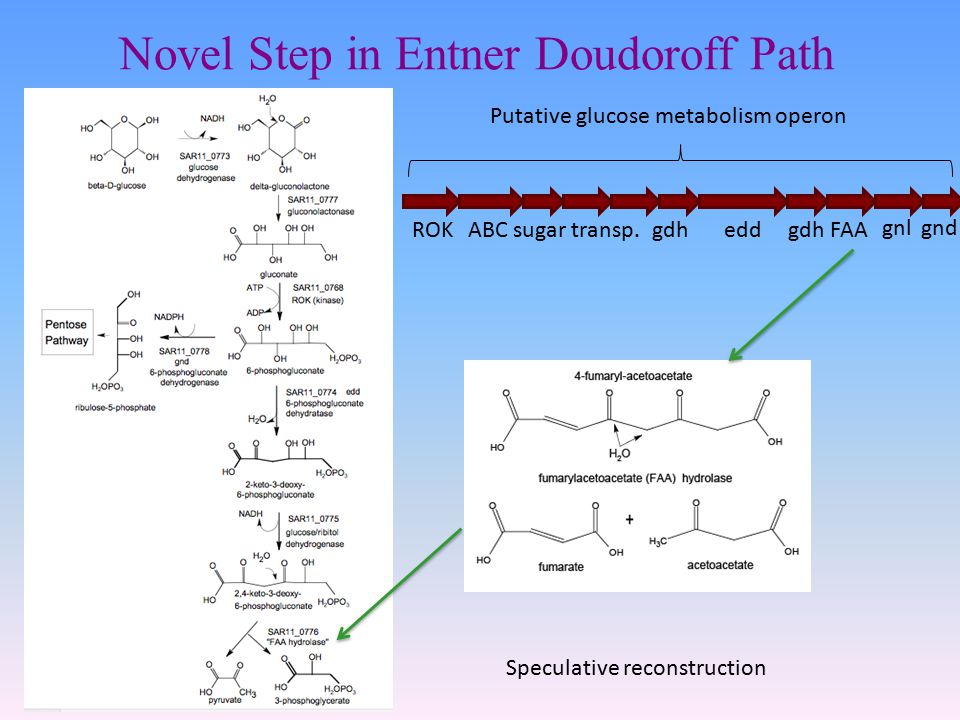 Novel Step in Entner Doudoroff Path eddgdh FAA gnl ROKABC sugar transp.