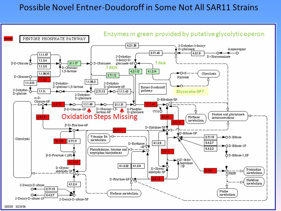 Possible Novel Entner-Doudoroff in Some Not All SAR11 Strains .