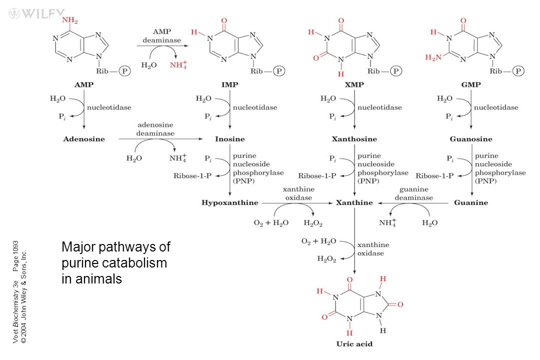 Voet Biochemistry 3e © 2004 John Wiley & Sons, Inc. Page 1093 Major pathways of purine catabolism in animals