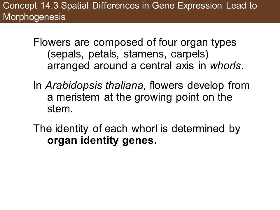 Concept 14.3 Spatial Differences in Gene Expression Lead to Morphogenesis Flowers are composed of four organ types (sepals, petals, stamens, carpels) arranged around a central axis in whorls.
