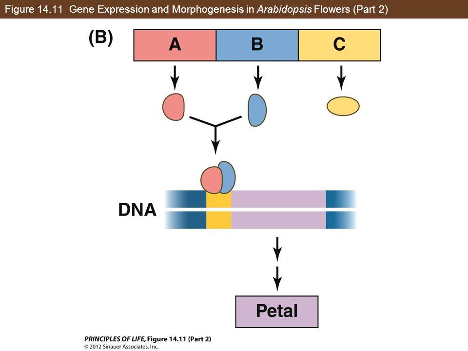Figure 14.11 Gene Expression and Morphogenesis in Arabidopsis Flowers (Part 2)