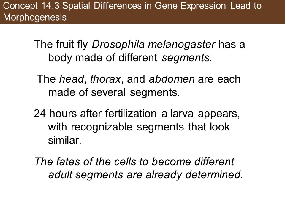 Concept 14.3 Spatial Differences in Gene Expression Lead to Morphogenesis The fruit fly Drosophila melanogaster has a body made of different segments.