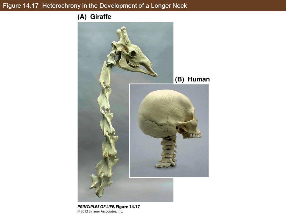 Figure 14.17 Heterochrony in the Development of a Longer Neck