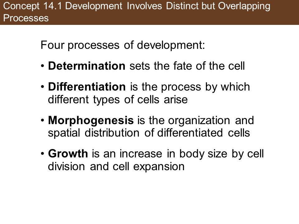 Concept 14.1 Development Involves Distinct but Overlapping Processes Four processes of development: Determination sets the fate of the cell Differentiation is the process by which different types of cells arise Morphogenesis is the organization and spatial distribution of differentiated cells Growth is an increase in body size by cell division and cell expansion