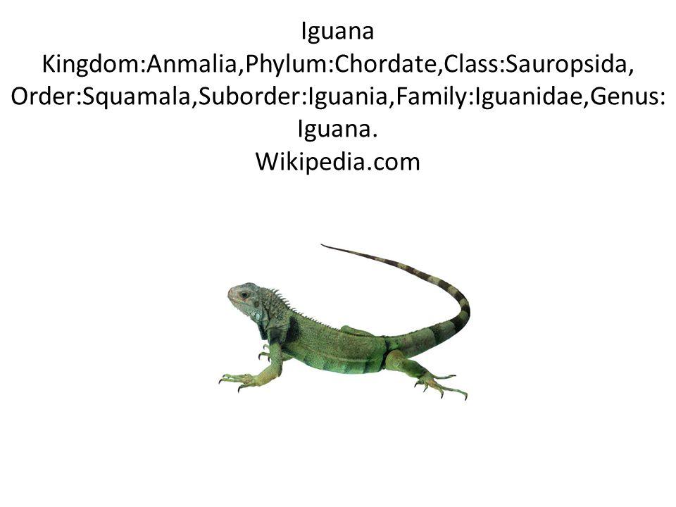 Iguana Kingdom:Anmalia,Phylum:Chordate,Class:Sauropsida, Order:Squamala,Suborder:Iguania,Family:Iguanidae,Genus: Iguana.