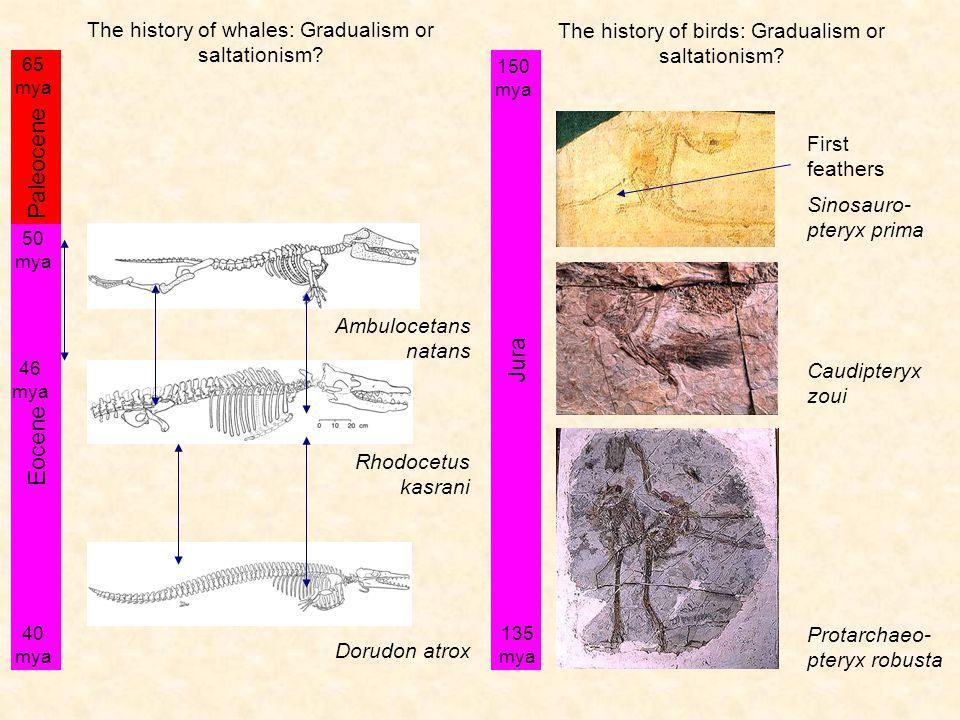 Ambulocetans natans Dorudon atrox Eocene 50 mya 40 mya Paleocene 65 mya Rhodocetus kasrani The history of whales: Gradualism or saltationism.