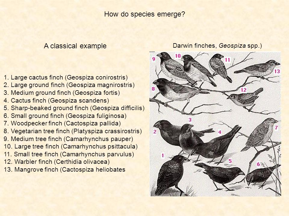 How do species emerge? A classical example Darwin finches, Geospiza spp.) 1. Large cactus finch (Geospiza conirostris) 2. Large ground finch (Geospiza