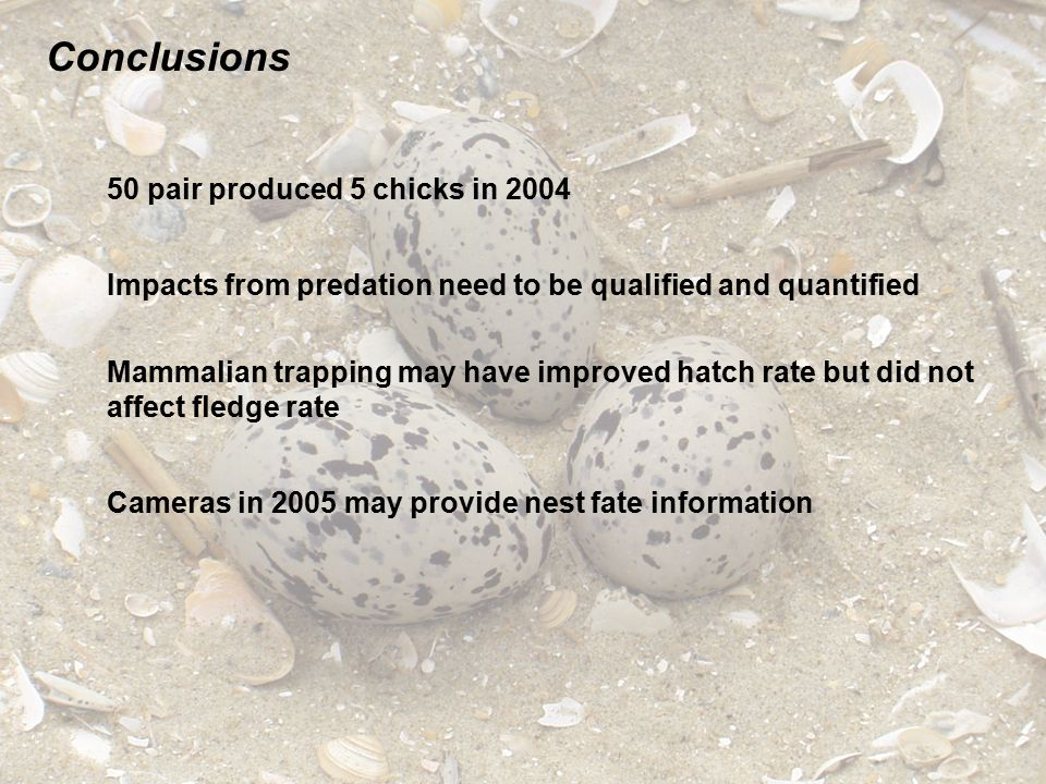 Conclusions 50 pair produced 5 chicks in 2004 Impacts from predation need to be qualified and quantified Cameras in 2005 may provide nest fate informa