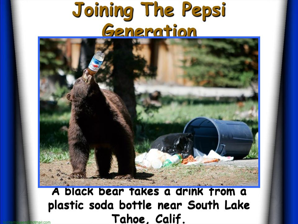 holdemqueen@hotmail.com Joining The Pepsi Generation Joining The Pepsi Generation A black bear takes a drink from a plastic soda bottle near South Lake Tahoe, Calif.