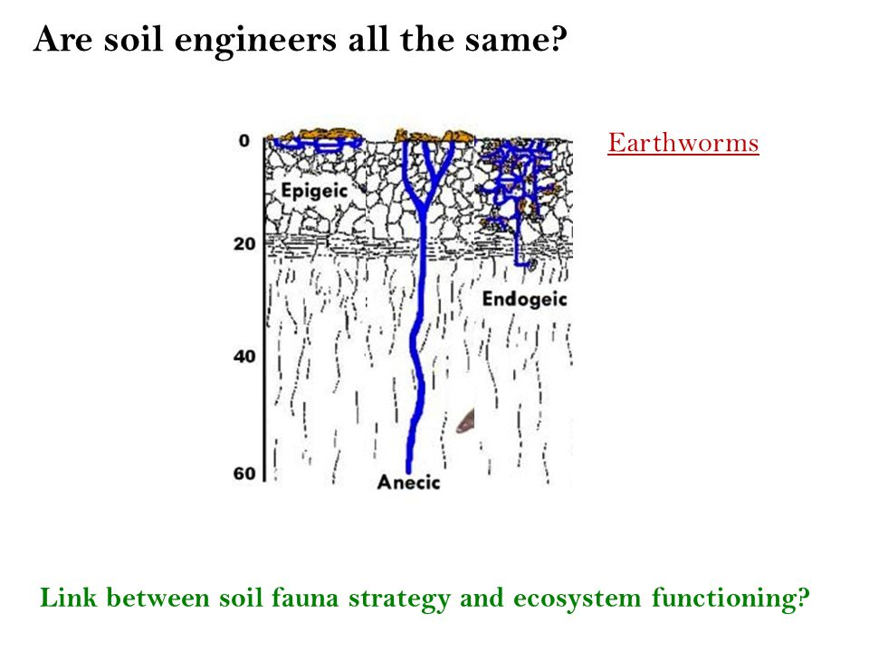 Are soil engineers all the same. Link between soil fauna strategy and ecosystem functioning.