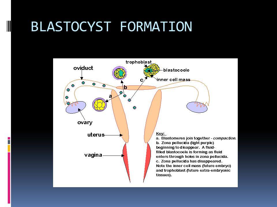BLASTOCYST FORMATION