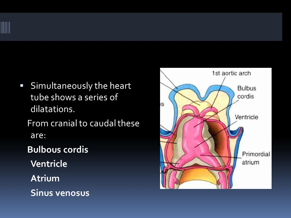  Simultaneously the heart tube shows a series of dilatations.