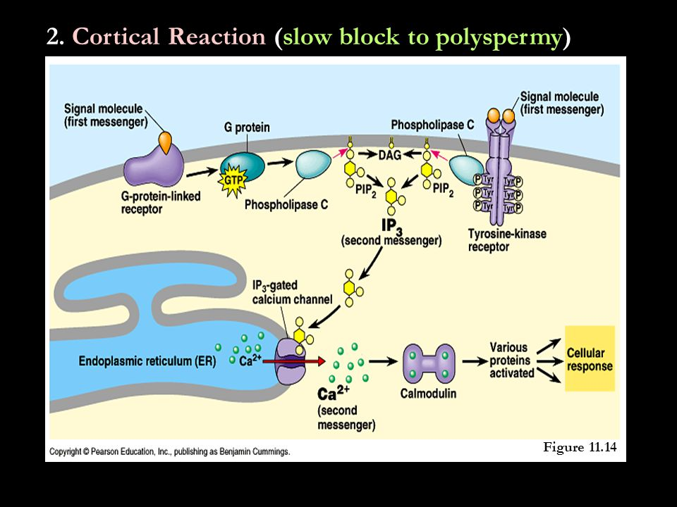 2. Cortical Reaction (slow block to polyspermy) Figure 47.3 Figure 11.14
