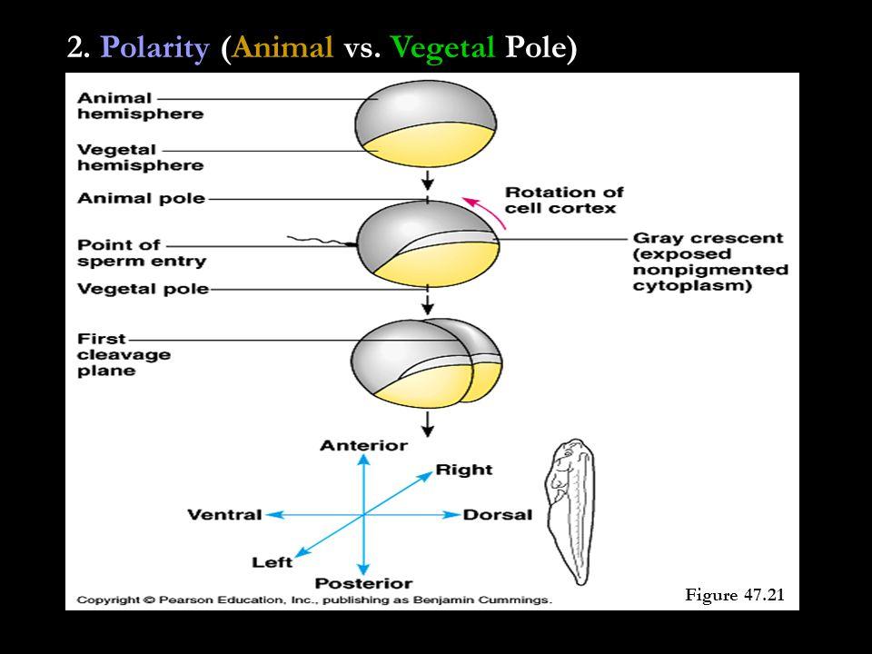2. Polarity (Animal vs. Vegetal Pole) Figure 47.21
