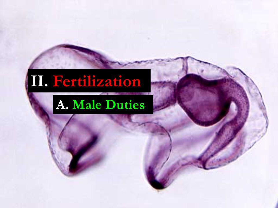 A. Male Duties II. Fertilization