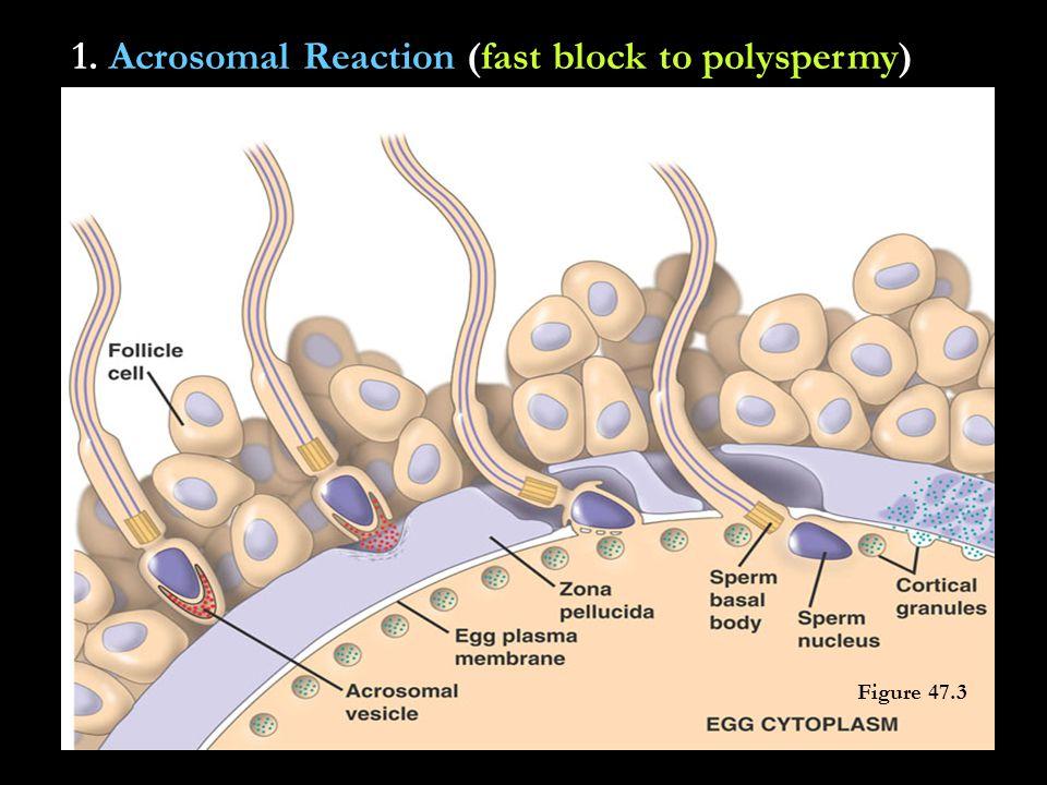 1. Acrosomal Reaction (fast block to polyspermy) Figure 47.3 Figure 47.4 Figure 47.3