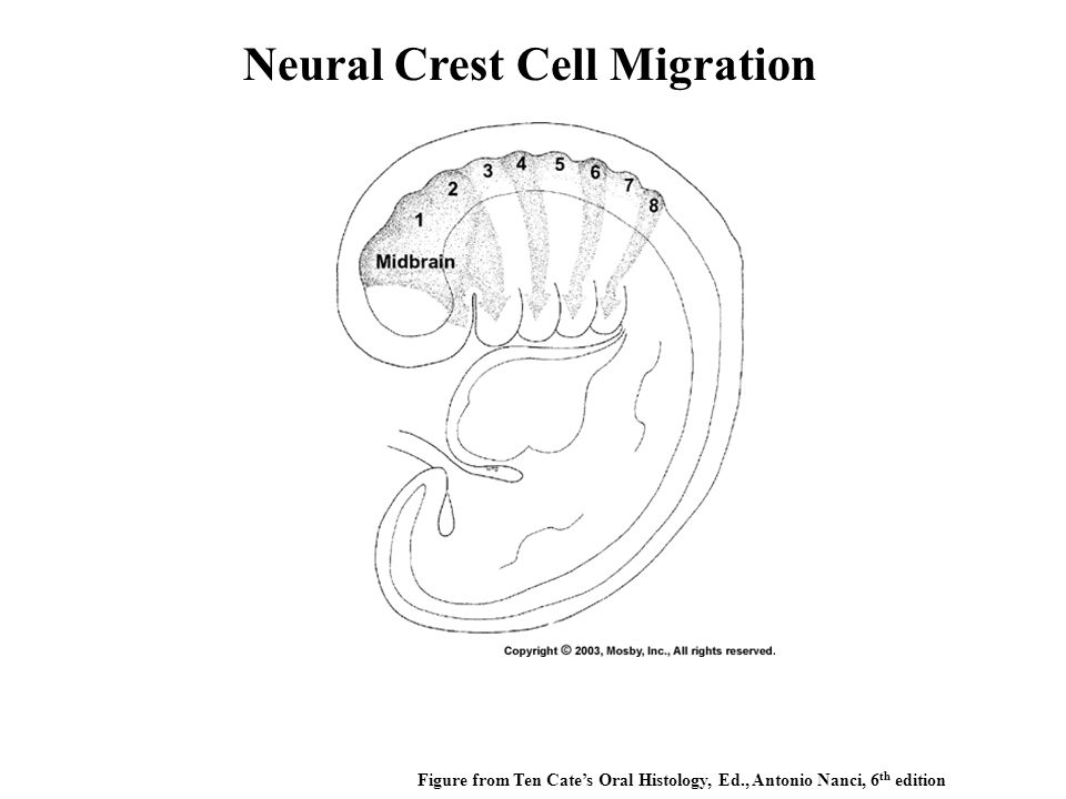 Neural Crest Cell Migration Figure from Ten Cate's Oral Histology, Ed., Antonio Nanci, 6 th edition