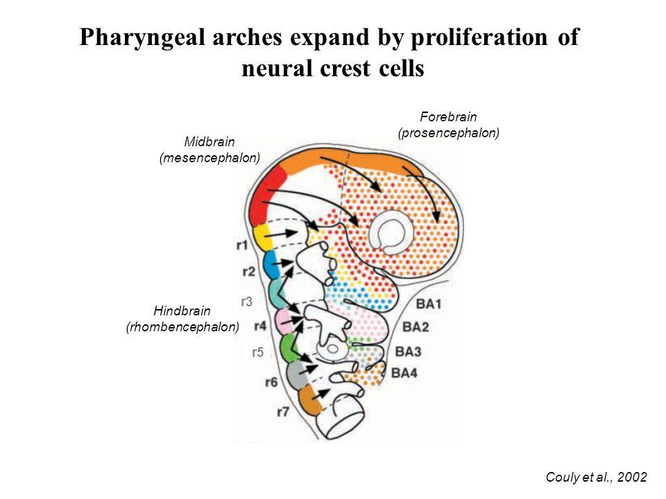 Pharyngeal arches expand by proliferation of neural crest cells Couly et al., 2002 Forebrain (prosencephalon) Midbrain (mesencephalon) Hindbrain (rhombencephalon) r3 r5
