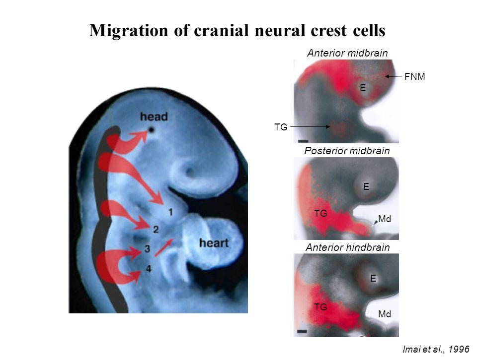 Migration of cranial neural crest cells Anterior midbrain Posterior midbrain Anterior hindbrain Imai et al., 1996 E E E FNM TG Md