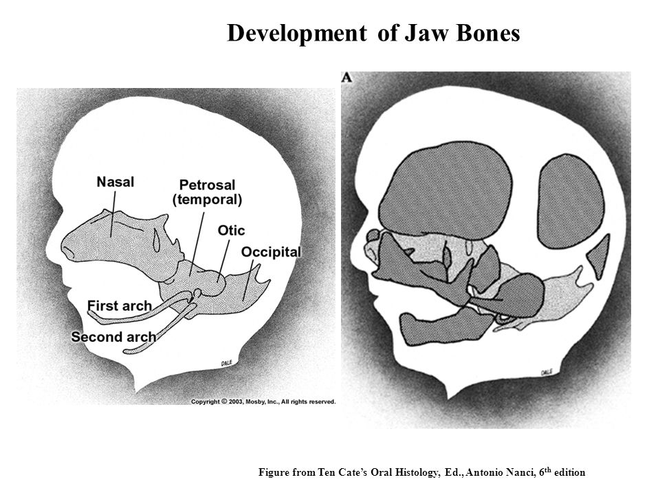 Figure from Ten Cate's Oral Histology, Ed., Antonio Nanci, 6 th edition Development of Jaw Bones