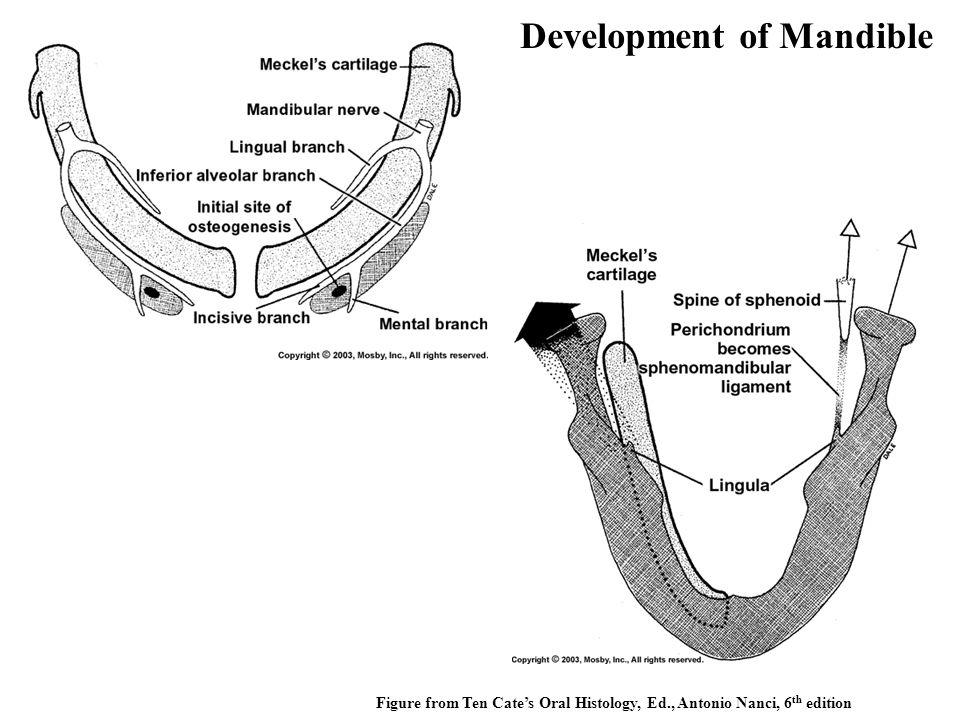 Figure from Ten Cate's Oral Histology, Ed., Antonio Nanci, 6 th edition Development of Mandible