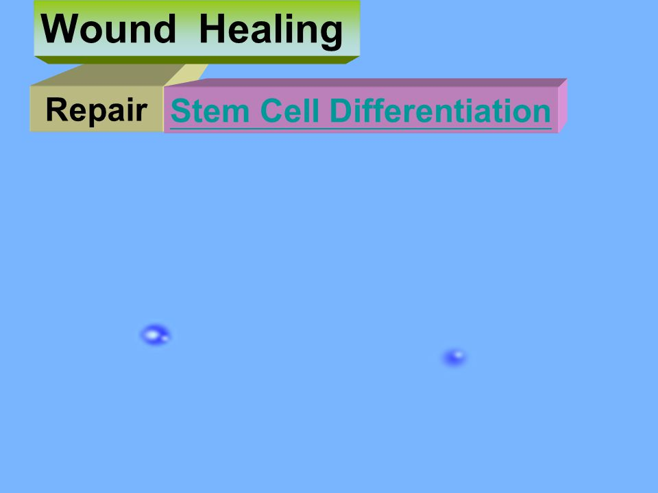 Repair Wound Healing Stem Cell Differentiation