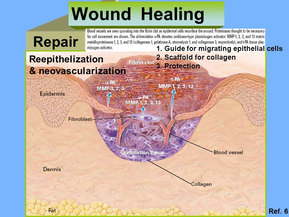 Repair Wound Healing Reepithelization & neovascularization 1.