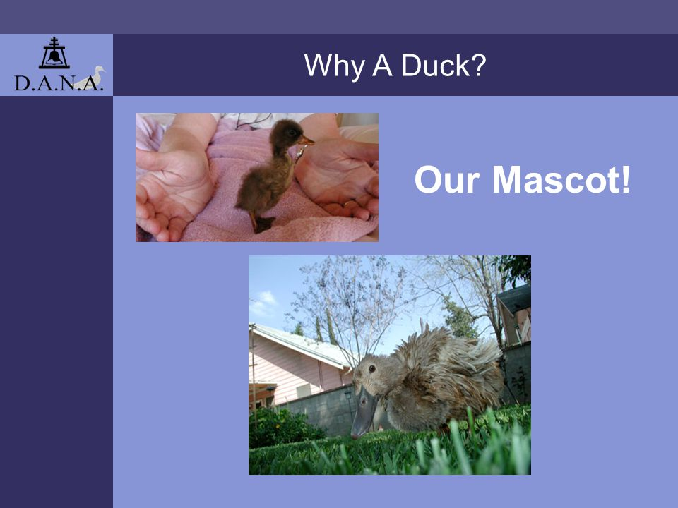 Why A Duck? Our Mascot!