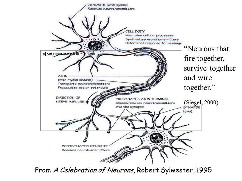 From A Celebration of Neurons, Robert Sylwester, 1995 Neurons that fire together, survive together and wire together. (Siegel, 2000)