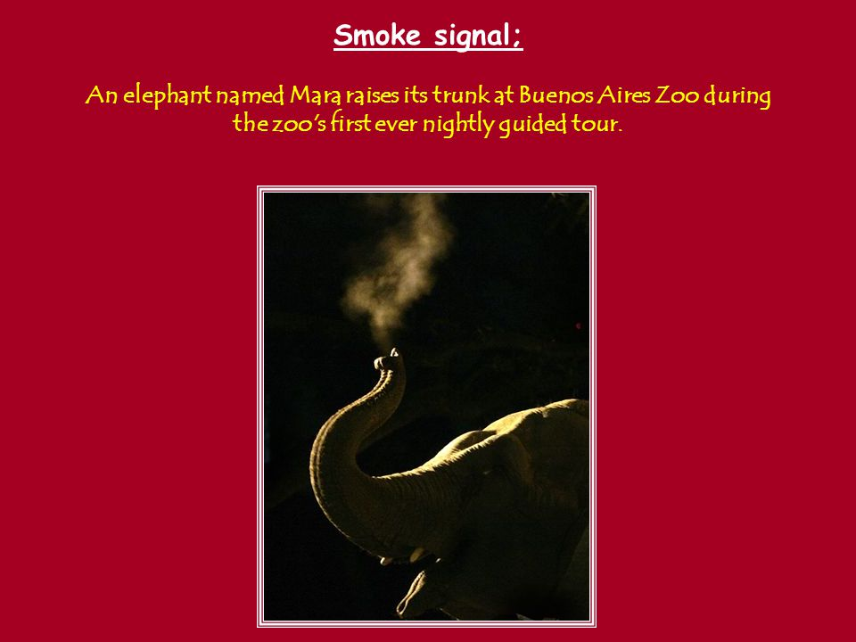 Smoke signal; An elephant named Mara raises its trunk at Buenos Aires Zoo during the zoo s first ever nightly guided tour.