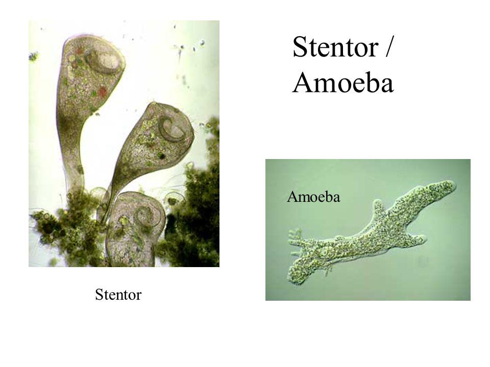 Stentor Amoeba Stentor / Amoeba