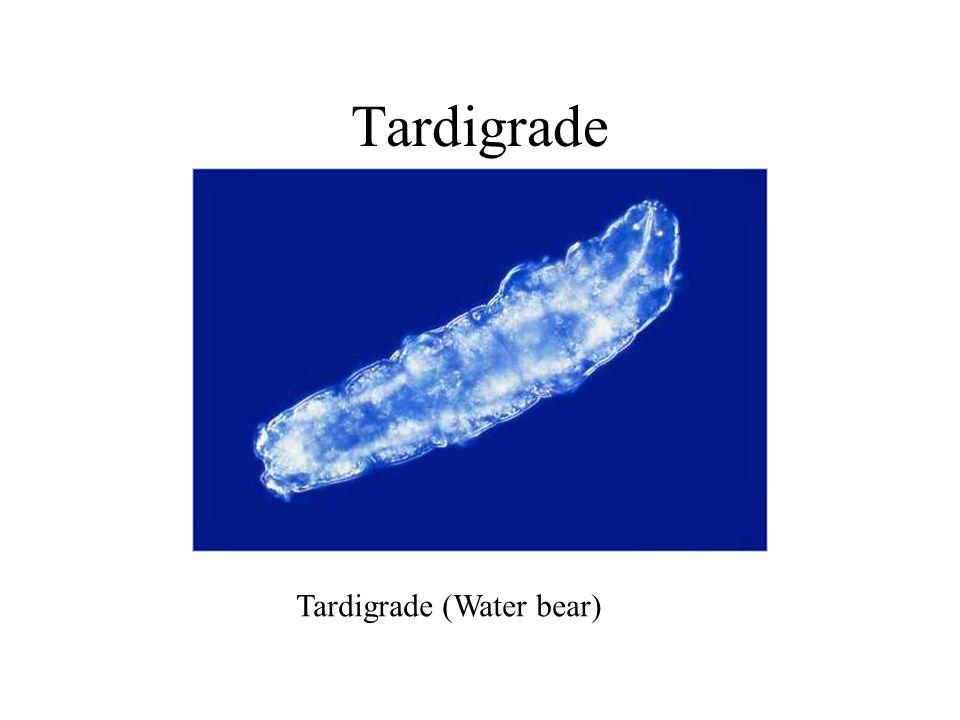 Tardigrade (Water bear) Tardigrade
