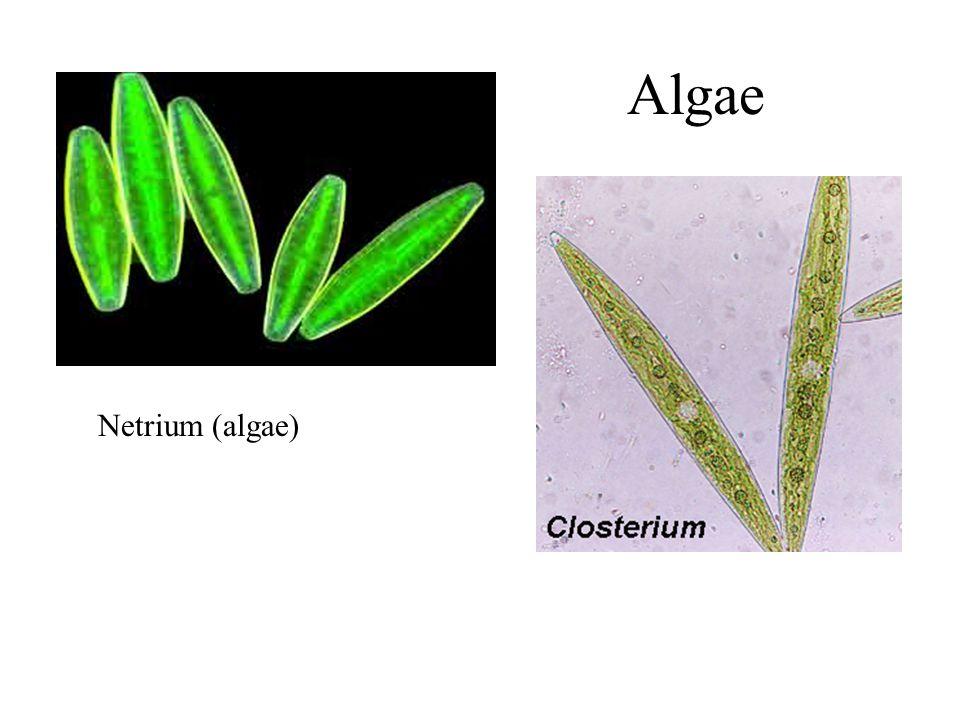 Netrium (algae) Algae