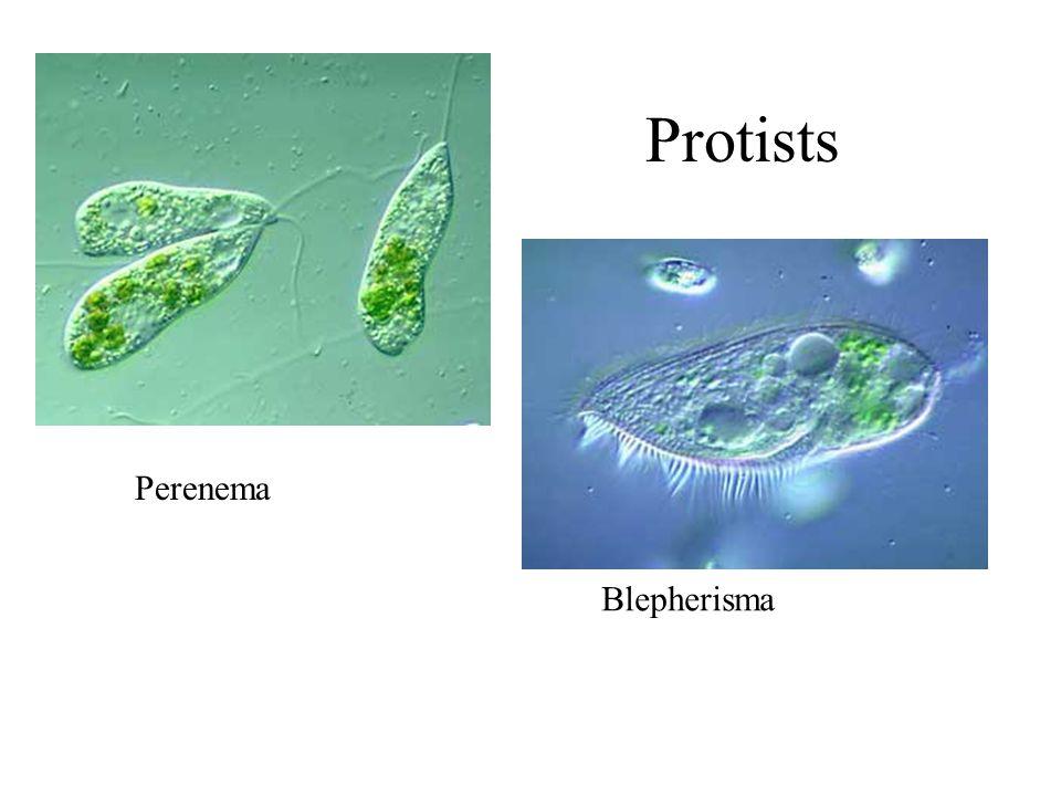 Perenema Blepherisma Protists