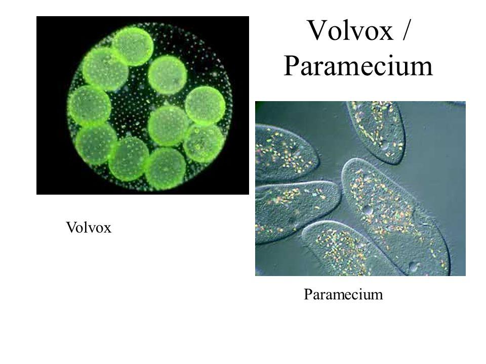 Volvox Paramecium Volvox / Paramecium