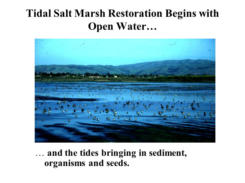 Tidal Salt Marsh Restoration Begins with Open Water… … and the tides bringing in sediment, organisms and seeds.