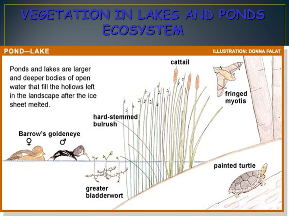 VEGETATION IN LAKES AND PONDS ECOSYSTEM