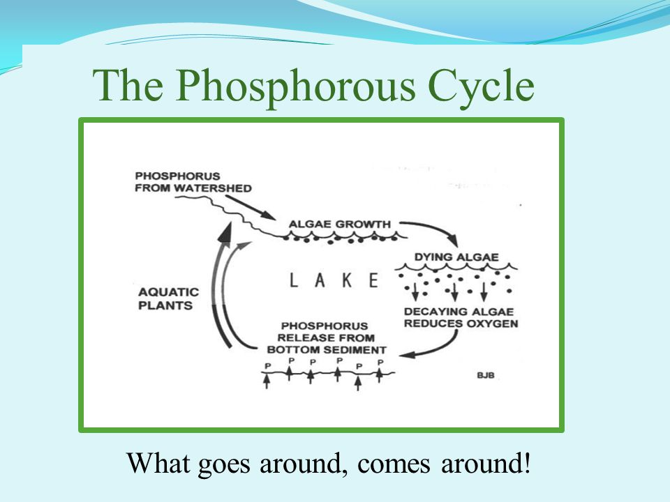 The Phosphorous Cycle What goes around, comes around!