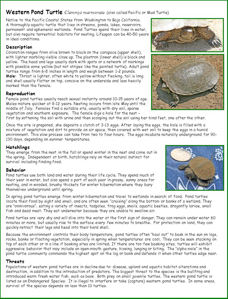Western Pond Turtle Clemmys marmorata (also called Pacific or Mud Turtle) Native to the Pacific Coastal States from Washington to Baja California. A t