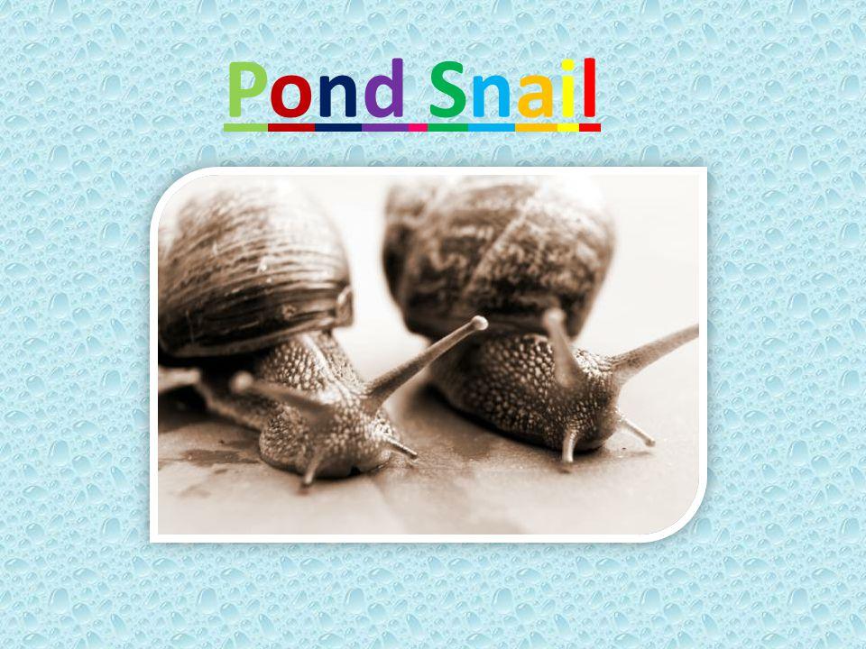 Pond SnailPond Snail