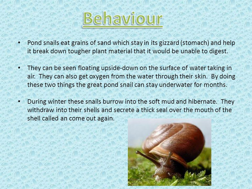 Pond snails eat grains of sand which stay in its gizzard (stomach) and help it break down tougher plant material that it would be unable to digest. Th