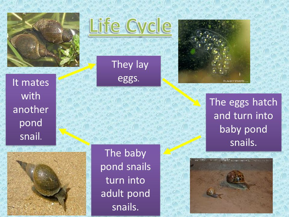 They lay eggs. The eggs hatch and turn into baby pond snails. The baby pond snails turn into adult pond snails. It mates with another pond snail.
