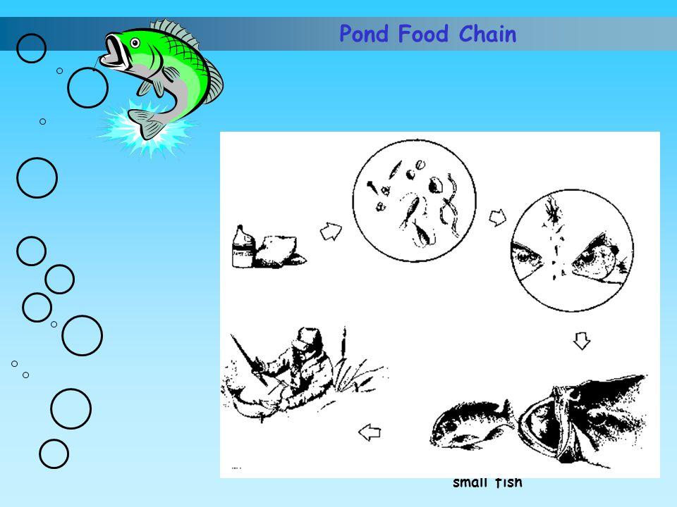 Pond Food Chain Nutrients (fertilizer) Algae and phytoplankton Small fish eat algae Big fish eat small fish Man harvests fish